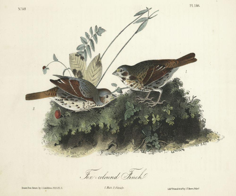 Fox-coloured Finch
