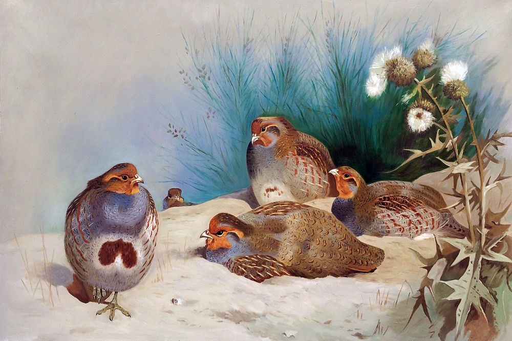 English Partridge with Gorse and Thistles, 1915