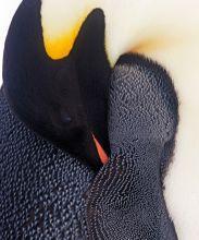 Penguin Detail