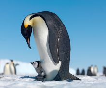 Emperor Penguin Family