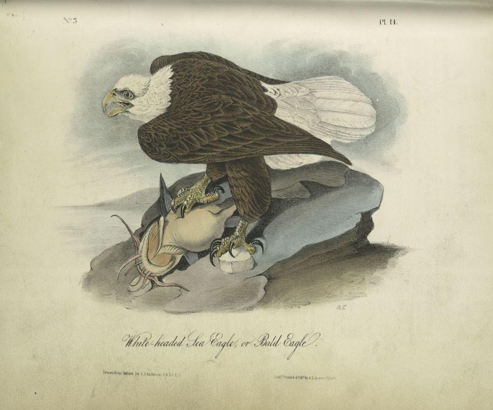 White-headed Sea Eagle