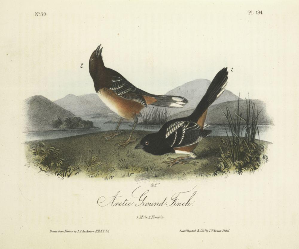 Arctic Ground Finch