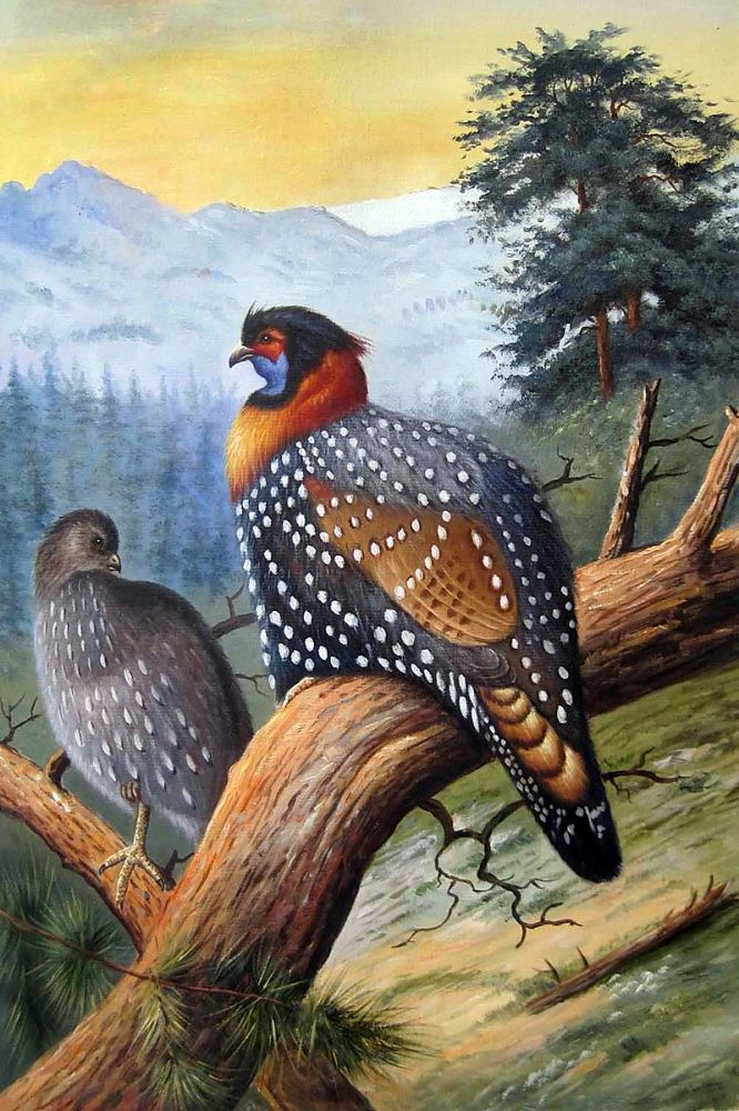 Thorburn - Western Tragopan (Tragopan Melanocephalus) 1918-22