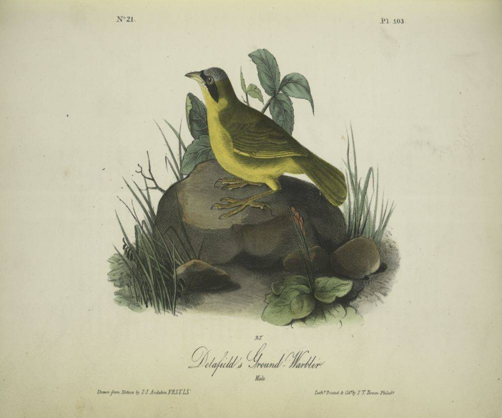 Ground Warbler