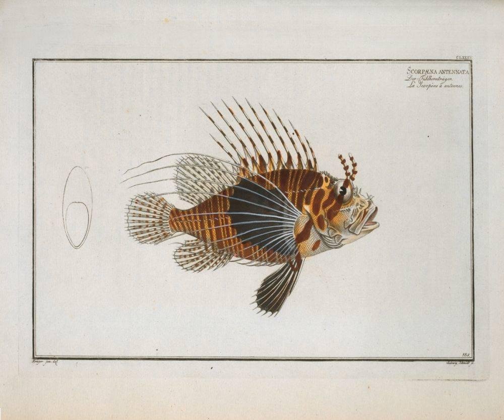 Scorpaena antennata