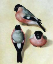Three Bullfinches