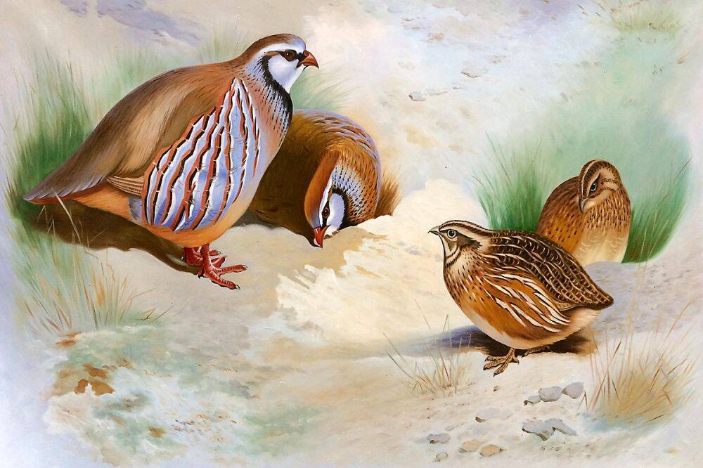 French Partridge and Chicks, 1915