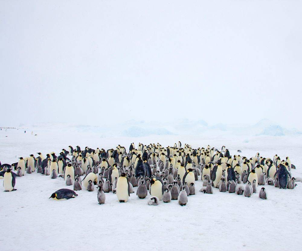 Penguin Colony