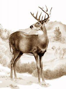 Whitetail Stag Sniffing